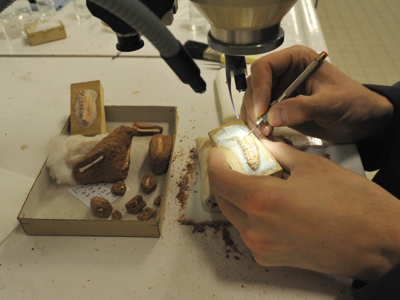 03 Preparation of fossil mammal remains from the Paleocene of Asia