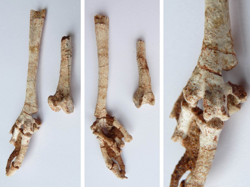 04 Pictures of the left foot – after preparation – of Qianshanornis rapax from the middle Paleocene of Anhui, China