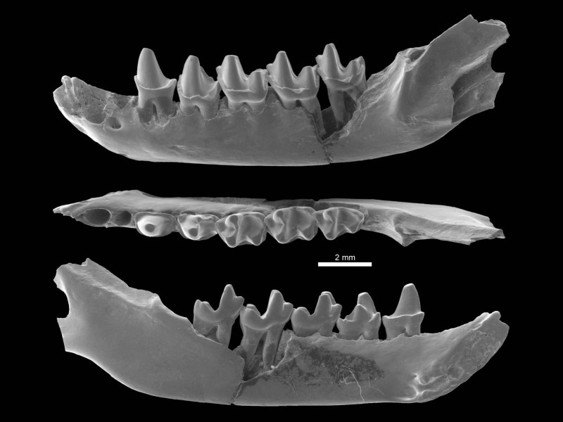 09 SEM pictures of a small jaw of the bat Protonycteris gunnelli from the early Eocene of Vastan, India