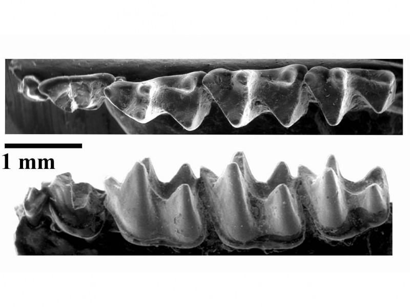 08 SEM images of small bat jaw from Fayum, Egypt (30 million years old)