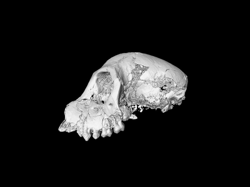 10 AMicro-Ct image of a female skull of Aegyptopithecus from Fayum, Egypt