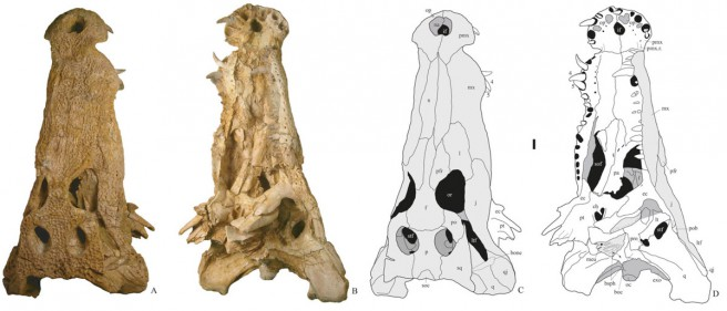 Photographs and line drawings of the skull of Diplocynodon remensis from the Late Paleocene of Mont de Berru; A, C, dorsal view; B, D, ventral view