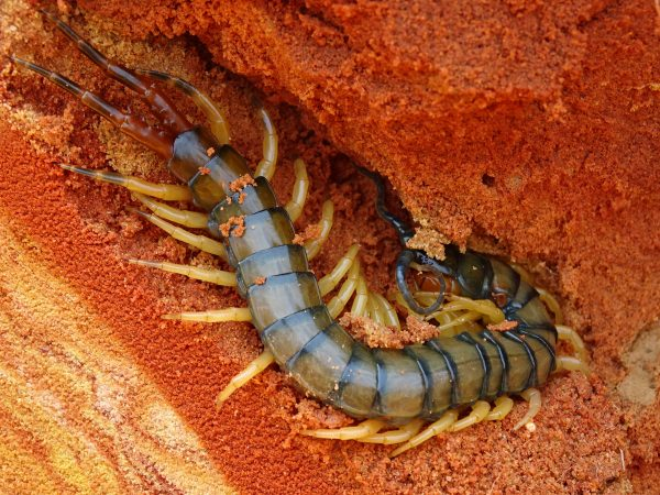 14 A beautiful 15 cm Scolopendra centipede suddenly appears in the sediment