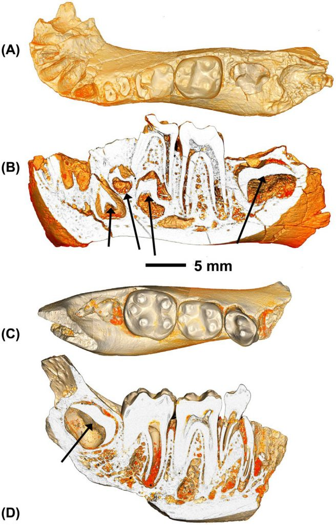 Juvenile Aegyptopithecus zeuxis from Fayum Quarry I. DPC 9866, left dentary dp4-m1fully erupted, m2 in crypt near alveolar margin, in occlusal (A) and lateral cutaway (B) views, arrows in B indicate positions of permanent canine, p3-4, and m2 embedded in the mandible. DPC 13599, right dentary p4-m2, m3 in crypt near alveolar margin, in occlusal (C) and lateral cutaway (D) views, arrow in D indicates m3 enamel cap still entombed in mandible while p4 is fully erupted.