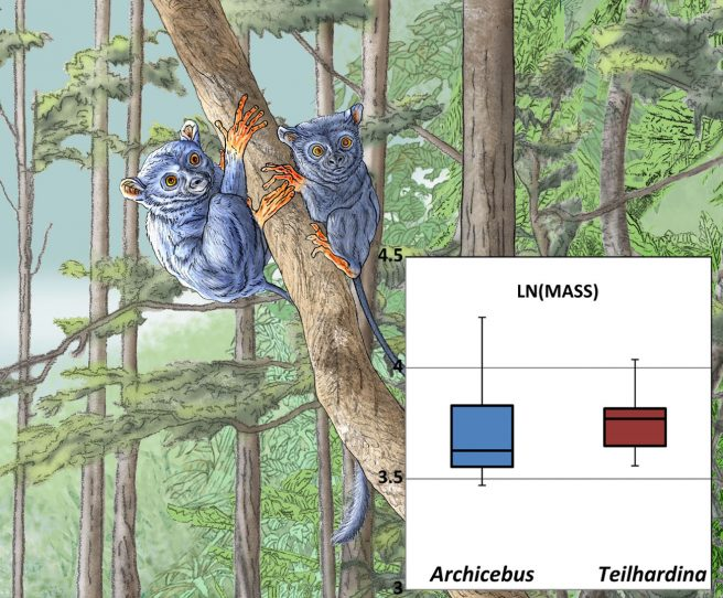 Body mass (in natural log) of early Eocene Chinese Archicebus and Belgian Teilhardina from conventional ordinary least squares regression models. The drawing illustrates the reconstruction of Teilhardina from Dormaal, Belgium (done by Pascale Golinvaux, RBINS)