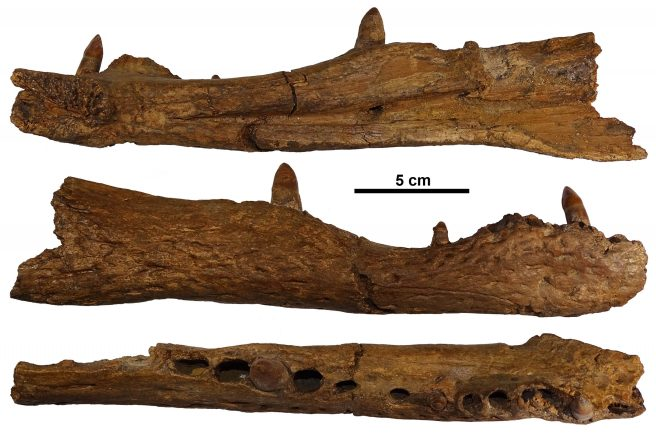 Right dentary of <em>Asiatosuchus depressifrons</em> (Blainville, 1855) from the late Paleocene of Berru (specimen IRSNB R358 in lateral view).