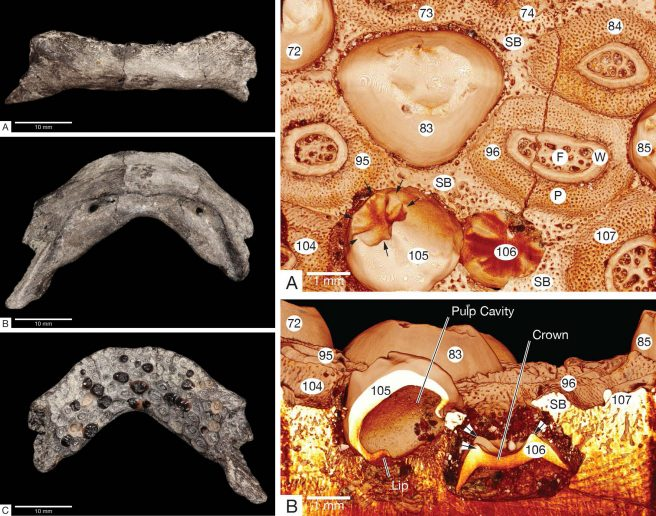 Left: the jaw of <em>Avitoplectus molaris</em> (WIF/A 2340) in anterior labial (A), ventral view (B), and dorsal views. Right: micro-CT reconstructions to show aspects of tooth replacement (A-B)