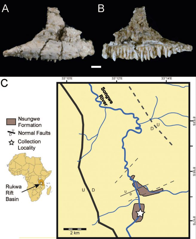 Specimen photograph and locality map. (A) RRBP 13002, gekkotan right maxilla in lateral view and (B) in medial view (scale bar = 1 mm); (C) map showing the Nsungwe Formation within the Rukwa Rift Basin (Tanzania) and the collection locality, including its relative position within Tanzania