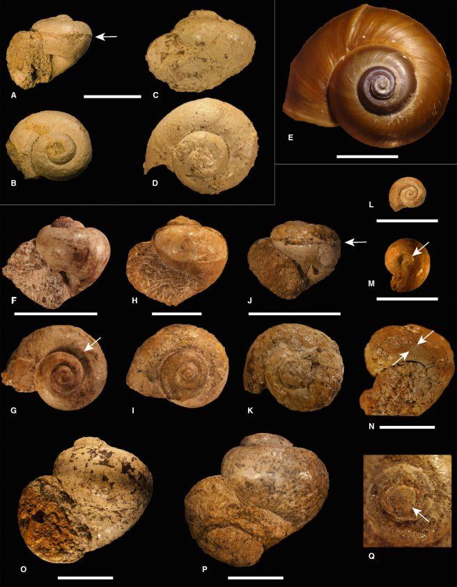 Depressed <em>Lanistes</em> morphotypes. A–D, <em>L. nsungwensis</em> sp. nov.; E, <em>L. carinatus</em> (Olivier, 1804), ANSP 367298-11; F–Q, <em>L. rukwaensis</em> sp. nov. Scale bars represent 10 mm.