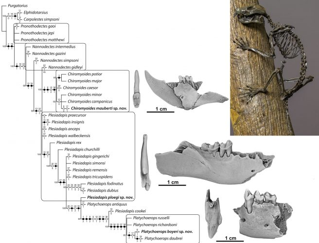 Phylogeny of plesiadapids, including the three new species and their dentition. Skeleton of <em>Plesiadapis</em>