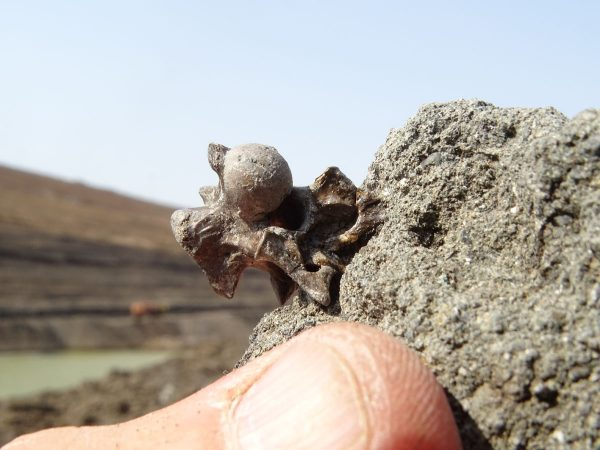 04 The first discovery is a Palaeophis snake vertebra that confirms the presence of vertebrate remains