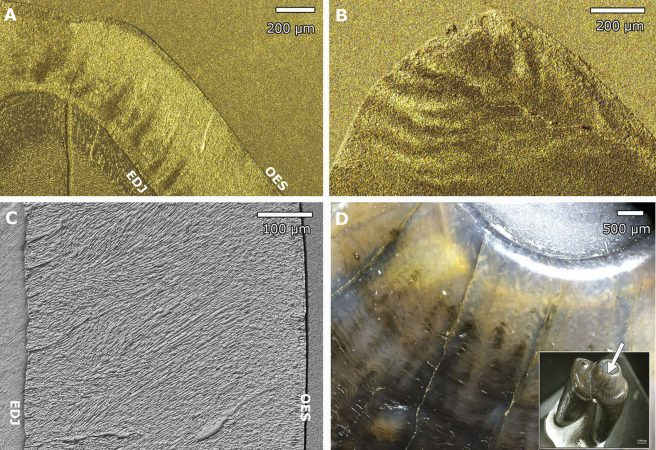Hunter-Schreger bands in the enamel of <em>Cambaytherium thewissi</em> shown by different techniques