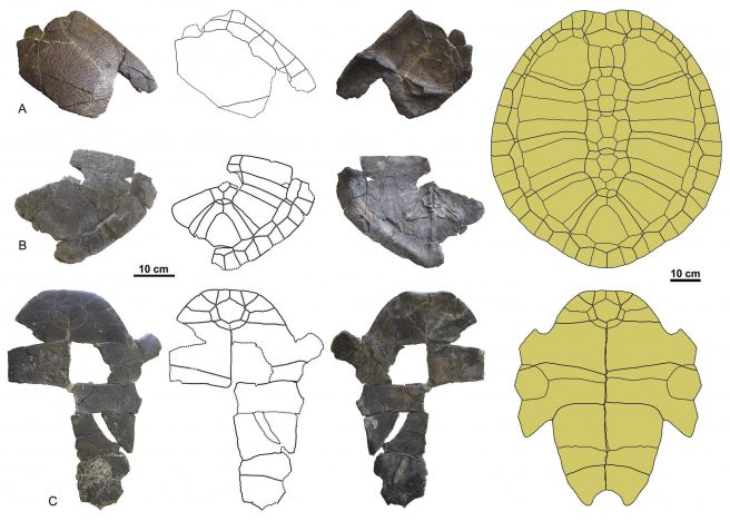 <em>Taphrosphys congolensis</em>, from Landana (Cabinda Province, Angola). Anterior (A) and posterior (B) regions of the carapace, and partial plastron (C). Reconstruction of the carapace in dorsal view and plastron in ventral view
