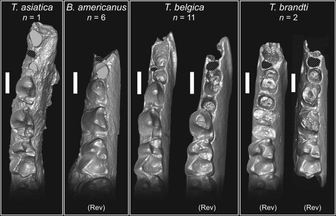 Comparative size of the p1 alveolus in <em>Teilhardina</em> and <em>Bownomomys</em>. n = sample size of specimens. (Rev) indicates = specimens reversed. Scale bars = 1 mm