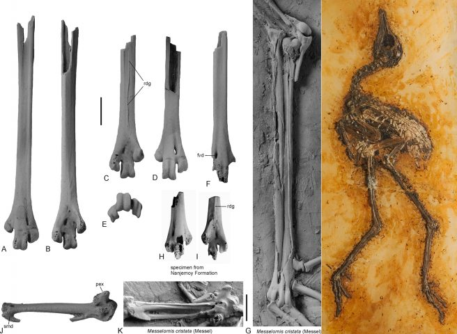 Fossil bones of a leg (tarsometatarsus) and a wing (carpometacarpus) of a Messelornithidae from the early Eocene of Egem (Belgium) compared to those of <em>Messelornis cristata</em> from the middle Eocene of Messel, Germany. Scale bar = 5 mm.