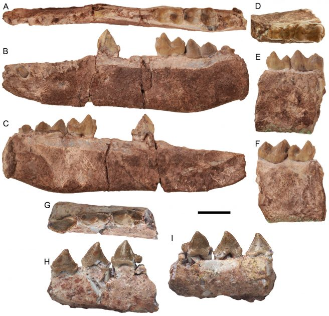 Lower dentition of <em>Rajouria gunnelli</em> gen. nov. sp. nov. A-C. GU/RJ/362, left dentary and holotype with i3 erupting, dp3, m1-2, trigonid part of m3 and alveoli of i1-2, c, p1-2, and p4 in occlusal (A), labial (B), lingual (C) views. D-F. GU/RJ/303, right dentary fragment with m1-2 in occlusal (D), labial (E), lingual (F) views. G-I. GU/RJ/144, left dentary fragment with p2-4 in occlusal (G), labial (H), lingual (I) views. Scale bar: 10 mm.