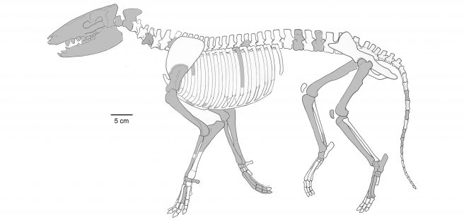 Skeletal reconstruction of <em>Cambaytherium thewissi</em>, with preserved elements shown in grey. Although much of the skeleton is represented, proportions should be regarded as approximate because elements were found isolated and represent multiple individuals. Because phalanges cannot be assigned definitively to digit or limb, representative phalanges are shown only in one manus but likely represent both manus and pes.