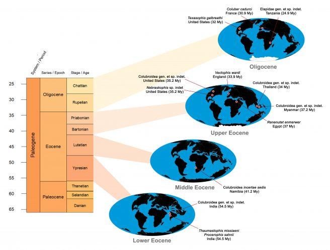 Distribution maps of colubroidean records in the Eocene and Oligocene. Early Eocene: <em>Thaumastophis missiaeni</em> and <em>Procerophis sahnii</em> (Ypresian of India; Rage et al., 2008); Colubroidea indet. (Ypresian of India; Rage et al., 2003). Middle Eocene: Colubroidea incertae sedis (Lutetian of Namibia; Rage et al., 2013). Late Eocene: <em>Renenutet enmerwer</em> (Priabonian of Egypt; McCartney and Seiffert, 2015); Colubroidea indet. (Bartonian of Myanmar; Head et al., 2005); Colubroidea indet. (Priabonian of Thailand; Rage et al., 1992); Colubroidea indet. (Priabonian of U.S.A.; Smith, 2013); <em>Vectophis wardi</em> (Priabonian of England; Rage and Ford 1980); <em>Nebraskophis</em> sp. (Priabonian of U.S.A.; Parmley and Holman, 2003). Oligocene: Elapidae indet. (Chattian of Tanzania; McCartney et al., 2014); <em>Coluber cadurci</em> (Rupelian of France; Rage, 1974); <em>Texasophis galbreathi</em> (Rupelian of U.S.A.; Holman, 1984).