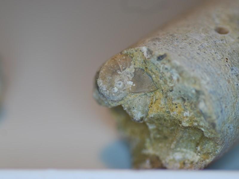 02 Fossil of gasteropod