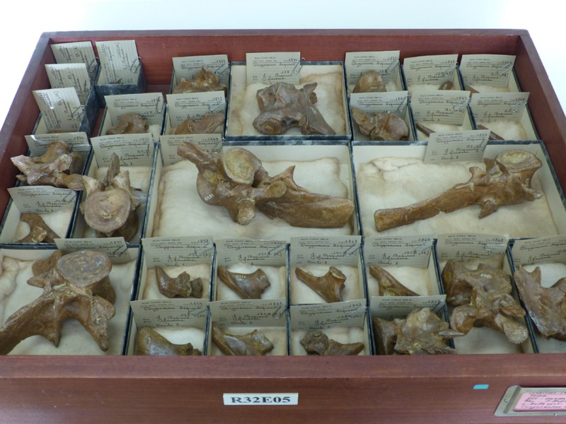 02 Specimens of the Paleocene crocodilian Congosaurus from Landana (Bequaert field campain, RMCA collections)