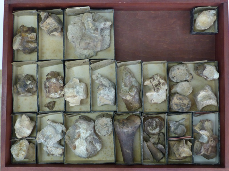 03 Specimens of the Paleocene crocodilian Congosaurus from Landana (Dartevelle field campain, RMCA collections)
